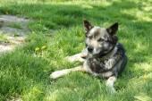 Hunden ligger på grönt gräs, utomhus — Stockfoto