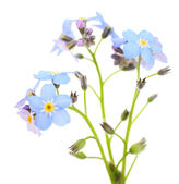 Forget-me-nots flowers, isolated on white — Stock Photo