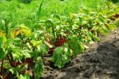 Tops of vegetables growing in garden — Stock Photo