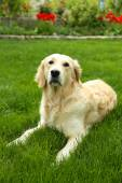 Adorable Labrador sitting on green grass, outdoors — Stock Photo