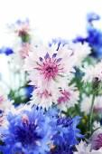 Beautiful small cornflowers — Stock Photo