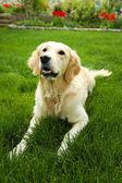 Labrador sitting on green grass — Stock Photo