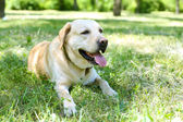 Dog resting over green grass — Stock Photo
