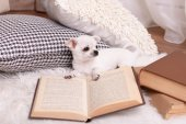 Chihuahua dog with book and pillows — Stock Photo