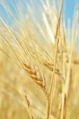 Ears of wheat on blue sky — Stock Photo