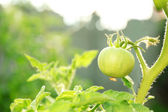 Green tomatoes growing on branches — Stock Photo