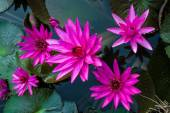 Pink lotus in the pond as flower style. — Foto Stock