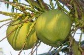 Groene kokosnoot boom — Stockfoto