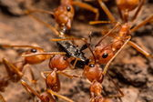 Closeup of ants are competing for food — Stok fotoğraf