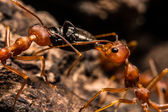 Closeup of ants are competing for food — Stock Photo
