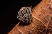 Gray cross spider (Larinioides sclopetarius) perched on leaves brown — Stock Photo