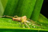 Jumping spider, Spider in Thailand — Stockfoto