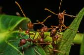 Macro, Close-up, red ants in the garden beside the house. — Stock Photo