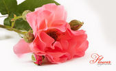Gently pink rose — Stock Photo
