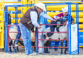 Mutton Busting — Stock Photo