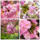 Collage with photos cherry blossom branch — Stock Photo
