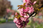 Cherry blossoms with raindrops — Stock Photo