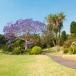 Jacaranda Tree — Stock Photo #52092719