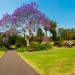 Jacaranda Tree — Stock Photo #52093521