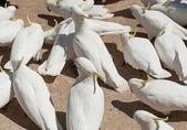Cockatoos — Stock Photo