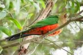 King-parrot — Stock Photo