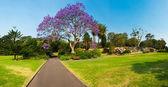жакаранда дерево — Стоковое фото