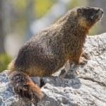 Yellow-bellied marmot — Stock Photo #76446929