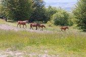 Brown horses — Stock Photo