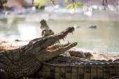 Two American crocodile — Stock Photo