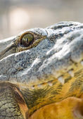 Crocodile close-up eyes and teeth — Stock Photo