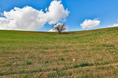 One tree growing in the field  — Stock Photo