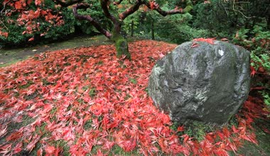 Movie of Falling Red Laced Maple Leaves from Tree Autumn Season on a Breezy Day in Portland Japanese Garden Closeup 1080p — Stock Video