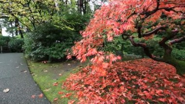 Panning Movie of Red Laced Maple Tree in Autumn Season in Portland Japanese Garden 1080p — Stock Video