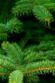 Detail Of Spruce — Stock Photo