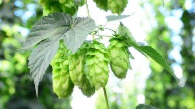 Detail of hop cones in the hop-garden — Stock Video