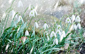 Snowdrops in the snowfall — 图库照片