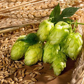 Hop cones and barley — Stock Photo