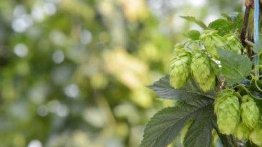Hop cones in the hop garden,rack focus — Stock Video