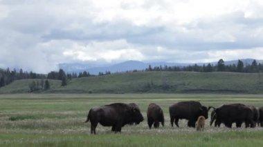 Beautiful Buffalos in Yellowstone National Park — Stock Video