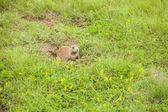 草原犬鼠躲在一个安全的地方 — 图库照片