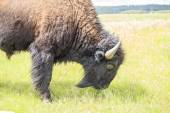 Close up of buffalo, Yellowstone National Park, Wyoming, USA — Stock Photo