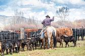 Cowboys catching newly born calves — Stock Photo