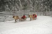 Racing on the reindeer sledges — Foto de Stock