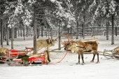 Dva soby s sáňky v zimě arktický lese — Stock fotografie