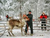 Herder handling with racing reindeer — Foto de Stock