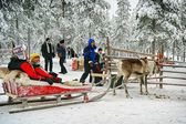 Preparing for the racing on the reindeer sledges — Stock Photo