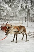 Reindeer in sledge shaking — Stock Photo