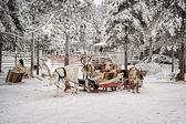Reindeers with sledges at reindeer farm in winter — Foto de Stock
