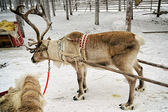 Reindeer with sledges — Stock Photo
