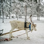 White single horned  reindeer in sledge — Foto de Stock